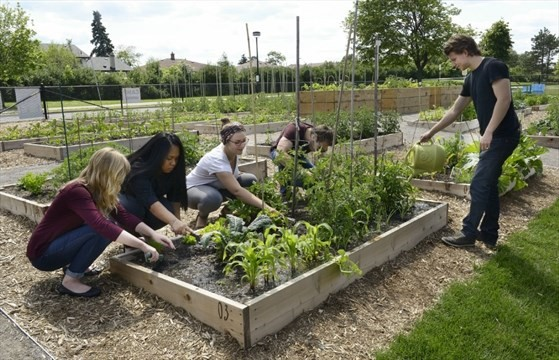 Mohawk College Students Gardening in the Community Garden