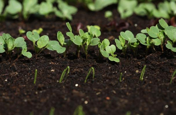 close-up of green seedlings in black dirt